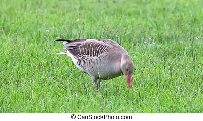 Anser fabalis, Bean Goose, Lower rh