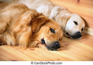 ansicht, hunden, liegen, zwei