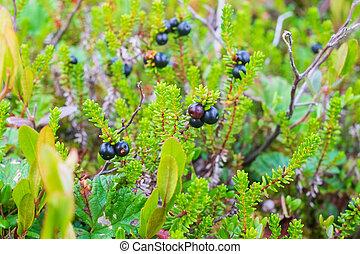 ansicht, swamp., crowberry, beeren, frisch, empetrum., ...