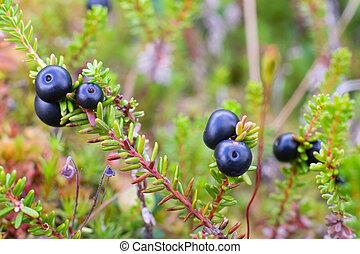 ansicht, swamp., crowberry, beeren, frisch, empetrum., aufschließen