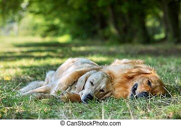 ansicht, von, zwei, hunden, liegen