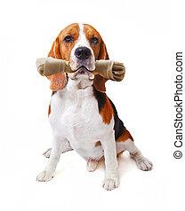 ansikte, av, beagle, hund, med, rawhide, ben, in, hans, mun, isolerat, vit fond, använda, för, söt, djuren, och, söt, älsklingsdjur, tema
