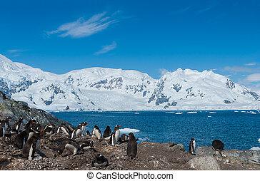 antártida, gentoo, pingüinos