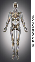 antérieur, anatomie, tendon, squelette, vue