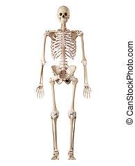 antérieur, ligament