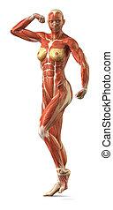 antérieur, sytem, pose, musculaire, anatomie, femme, body-builder