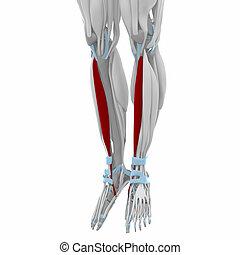 antérieur, tibialis, muscles, carte, -, anatomie