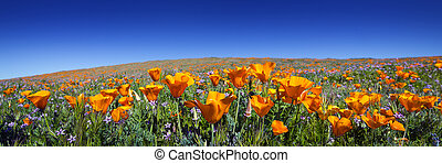 antílope, amapolas de california, salvaje, amapola, valle,...