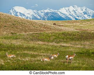 antílope, en, un, campo, en, el, gama nacional del bisonte,...