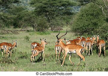 antílope, tanzania, serengeti, áfrica, -, impala