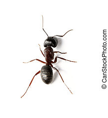 A Carpenter ant on white surface