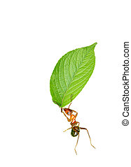 Ant and leave - Ant move a piece of leaf