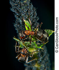 Ant and plant lice - Ant sheparding  aphids