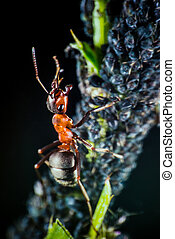 Ant and plant lice - Ant shepard hearding aphids