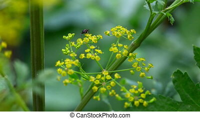 Ant. - Ant on the fennel flower.