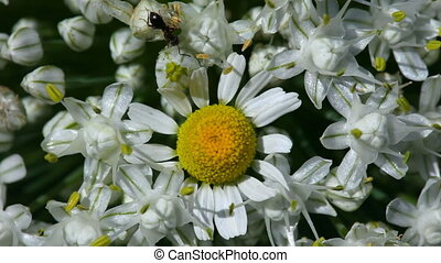 Ant. - Ant on the onion flower.