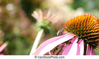 Ant attacking beetle on flower Echinacea officinalis. Purple petals and shallow depth of view