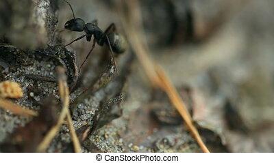 Black ant. Macro.