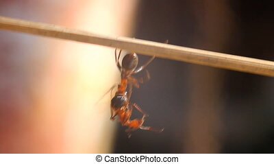 Ant carrying a dead ant into anthill