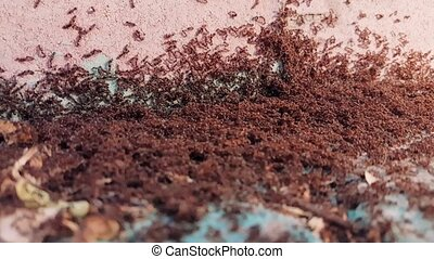 Ant colony in the street. Ants are social insects which form...