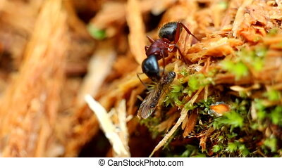 ant eats the prey insect mosquito macro - insect ant and his...