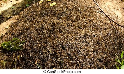 ant., forêt, timelapse., européen, aquilonia., formica