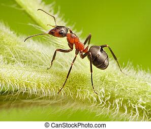 ant formica rufa on grass - ant formica rufa on green grass