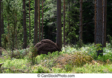 Ant hill in the woods