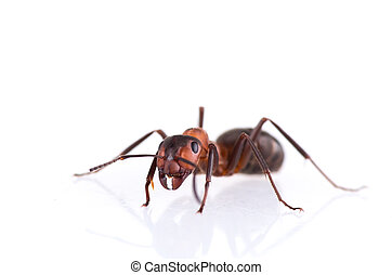 ant isolated on white background. - Ant isolated on white...