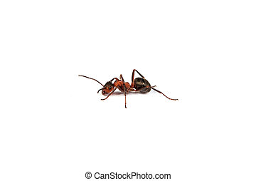 Ant isolated on white background - Big red ant isolated on...