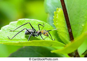 Ant-mimic Cricket - Tiny Ant Mimic Cricket Nymph on the...