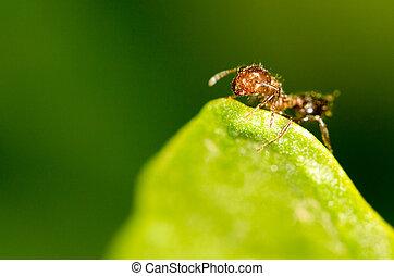 Ant on a green leaf. close