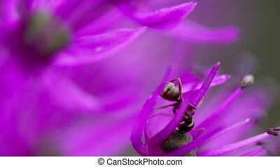 Ant on the onion flower
