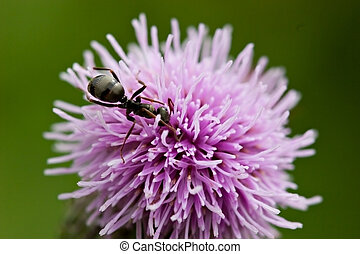 Ant on Thistle - Macro of ant on thistle