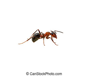 Ant on white  - Ant isolated on white background