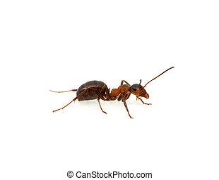 Ant on white - Ant isolated on white background