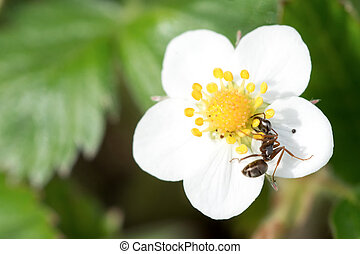 Ant on white flower