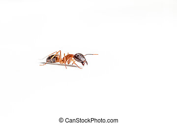 ant on white - red ant formica rufa on white background