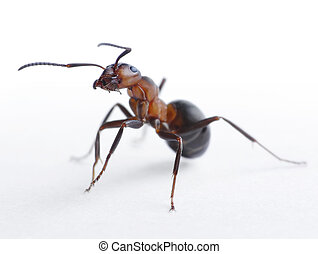 ant portrait - ant formica rufa