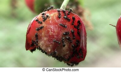 Ant, - Teamwork,cherry,