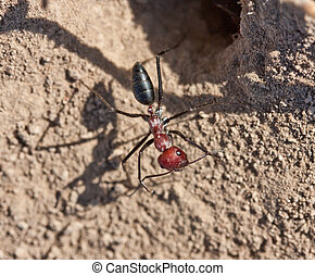 ant with a red head