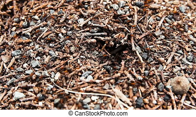 Ant work on anthill, closeup