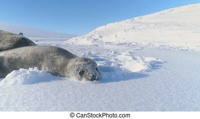 Antarctic baby weddell seal play with snow