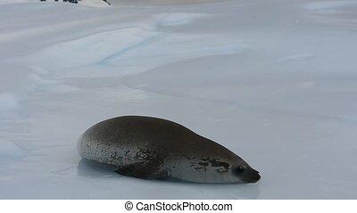 Antarctic Crabeater Seal on the iceberg in Antarctica