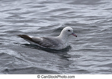 Antarctic fulmars sitting on the water1