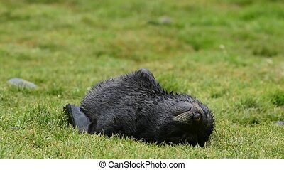 Antarctic fur seal pup close-up in grass