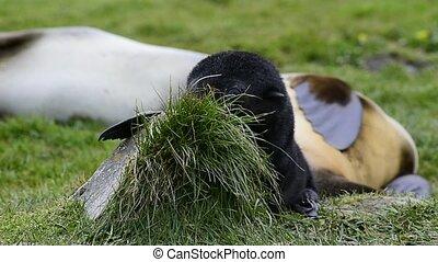 Antarctic fur seal pup close-up in grass - Antarctic fur...