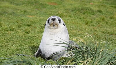 Antarctic fur seal pup close up in grass at South Georgia