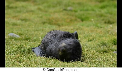 Antarctic fur seal pup in the grass