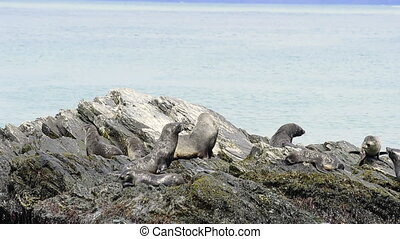 Antarctic fur seal pup on rock - Antarctic fur seals on the...